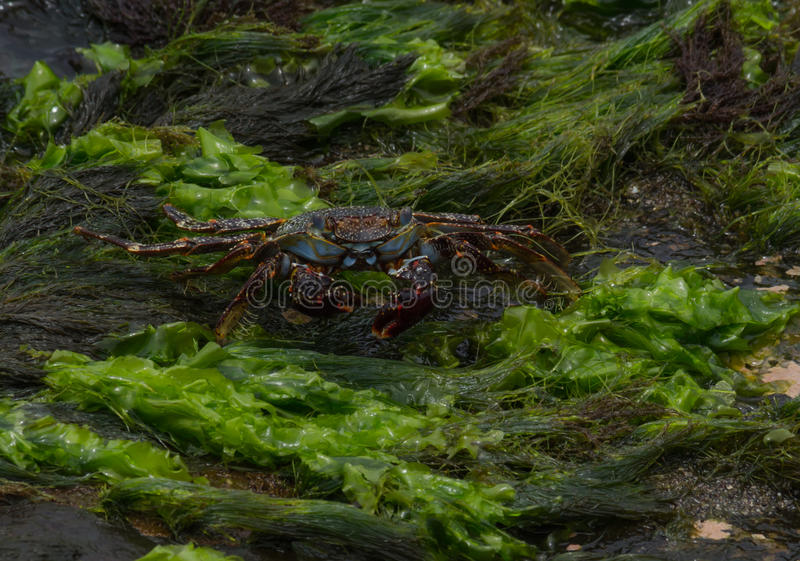 Caribbean Crab stock images