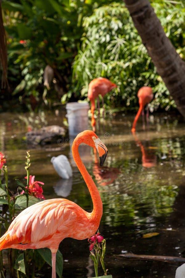 Caribbean flamingo Phoenicopterus ruber in a tropical garden. In southwestern Florida royalty free stock photos