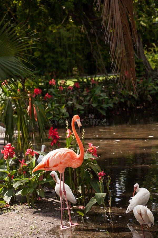 Caribbean flamingo Phoenicopterus ruber in a tropical garden. In southwestern Florida stock photo