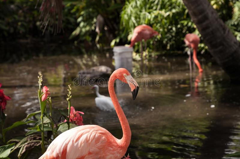 Caribbean flamingo Phoenicopterus ruber in a tropical garden. In southwestern Florida royalty free stock images