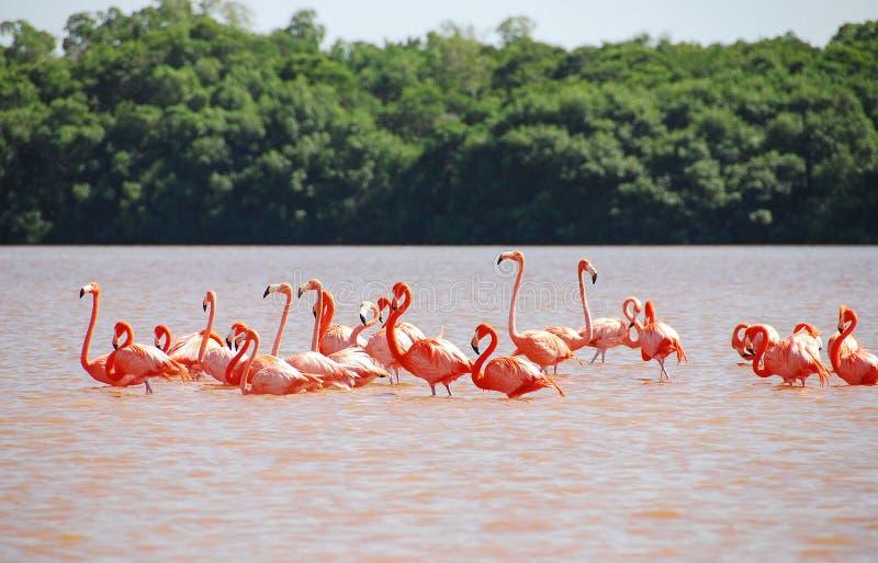 Caribbean Flamingo in Yucatan royalty free stock photography