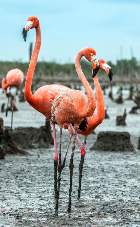 Download Caribbean flamingos stock photo. Image of neck, biology - 83723486