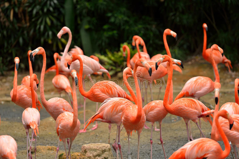 Caribbean flamingos stock photography