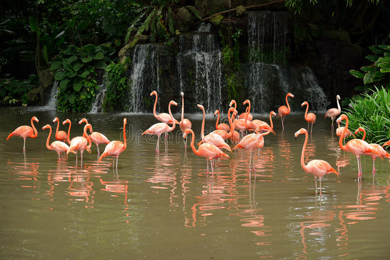 Caribbean flamingos royalty free stock photo