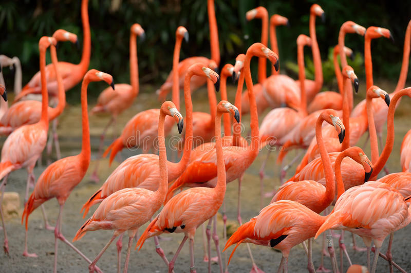 Caribbean flamingos royalty free stock photography
