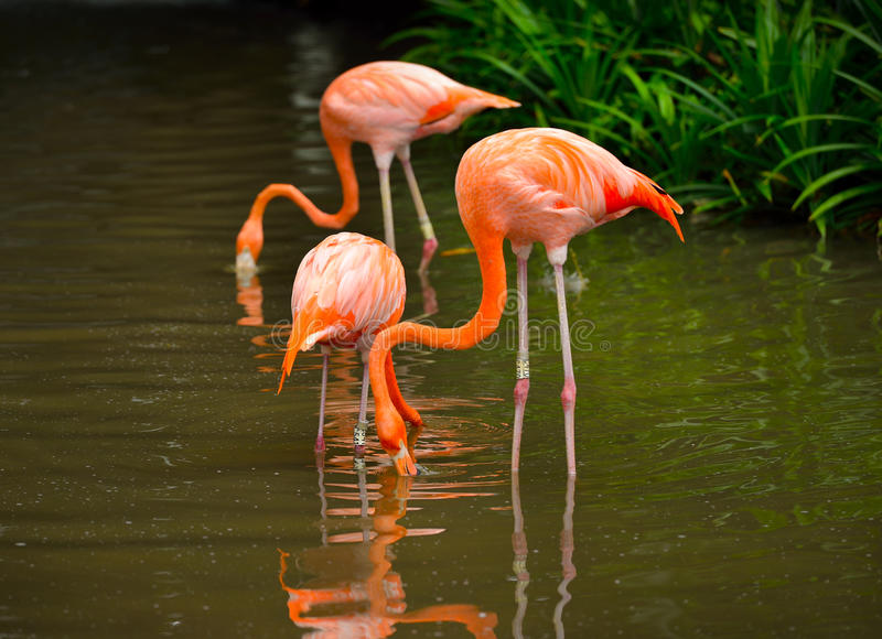 Caribbean flamingos stock images