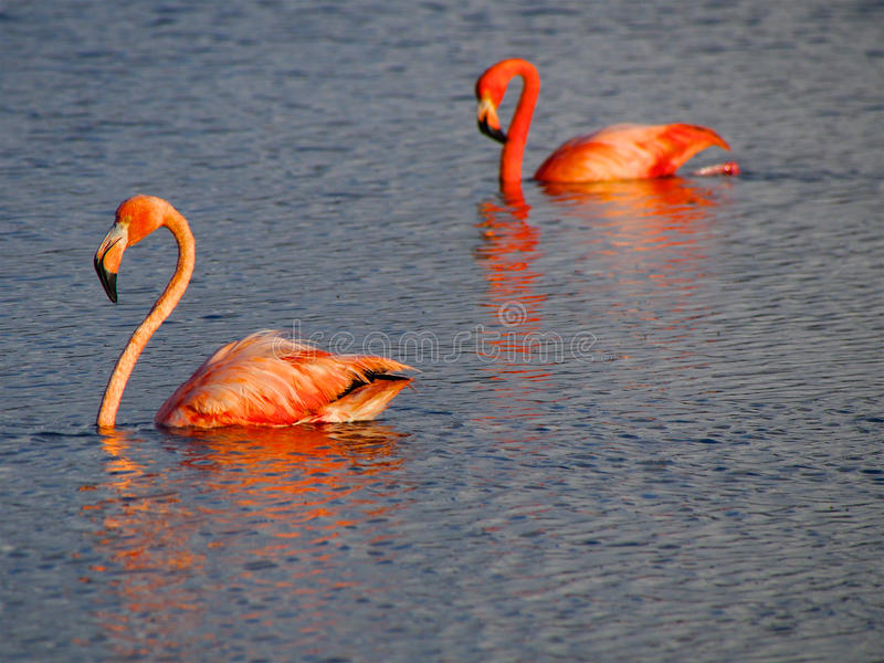 Caribbean Flamingos court on the Gotomeer, Bonaire, Dutch Antilles. Courting Caribbean Flamingos reflected in the Gotomeer, Bonaire, Dutch Antilles stock photos