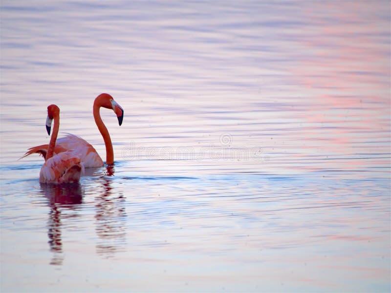 Caribbean Flamingos court on the Gotomeer, Bonaire, Dutch Antilles. Pair of courting Caribbean Flamingos reflected in pink water on the Gotomeer, Bonaire, Dutch stock photos