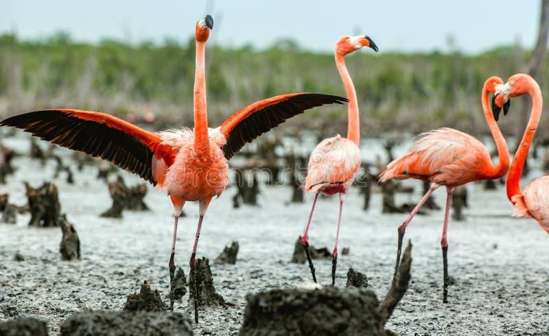 Caribbean flamingos Phoenicopterus ruber ruber. Rio Maximo, Camaguey, Cuba royalty free stock photos