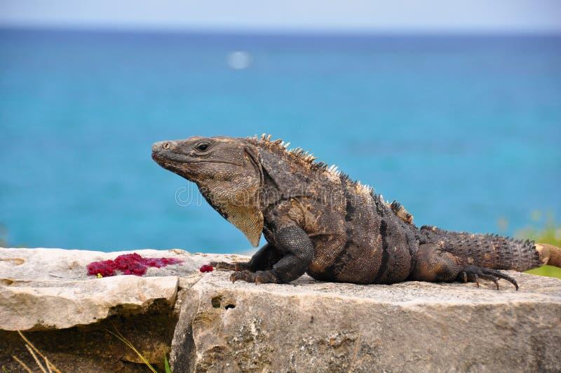 Caribbean Iguana, Mexico royalty free stock photo