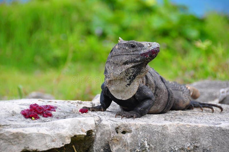 Caribbean Iguana, Mexico royalty free stock photos