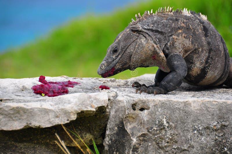 Caribbean Iguana, Mexico royalty free stock images