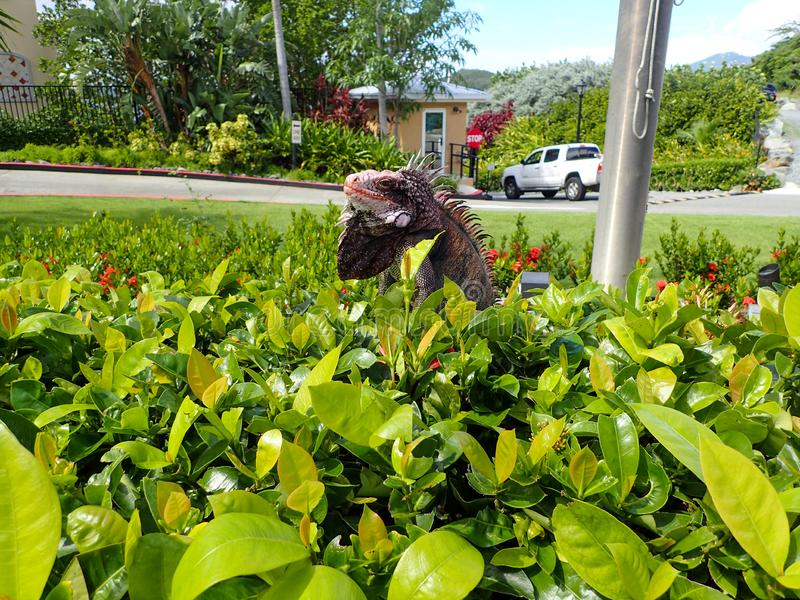 Caribbean Iguana sitting in a bush royalty free stock images