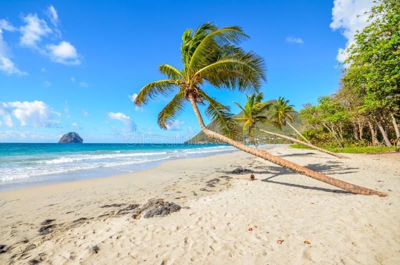 Caribbean martinique beach coconut near the Diamant royalty free stock image