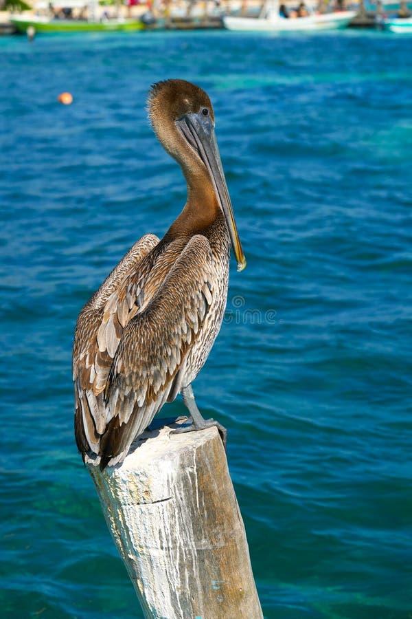 Caribbean Pelican on a beach pole. In Mexico Riviera Maya stock image
