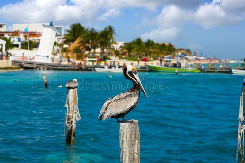 Caribbean Pelican on a beach pole. In Mexico Riviera Maya stock photo