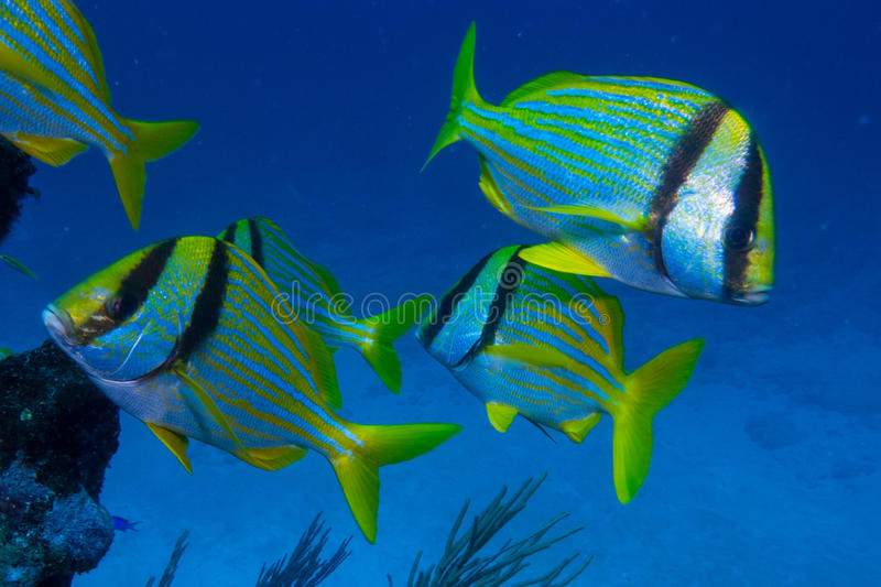 Caribbean Porkfish royalty free stock photo