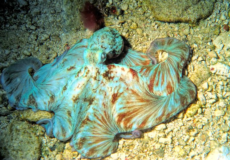 A Caribbean Reef Octopus Hunts at Night. A Reef Octopus hunts at night for crabs, shrimp, polychaetes & small fish by spreading it`s flexible skin over rocky stock image
