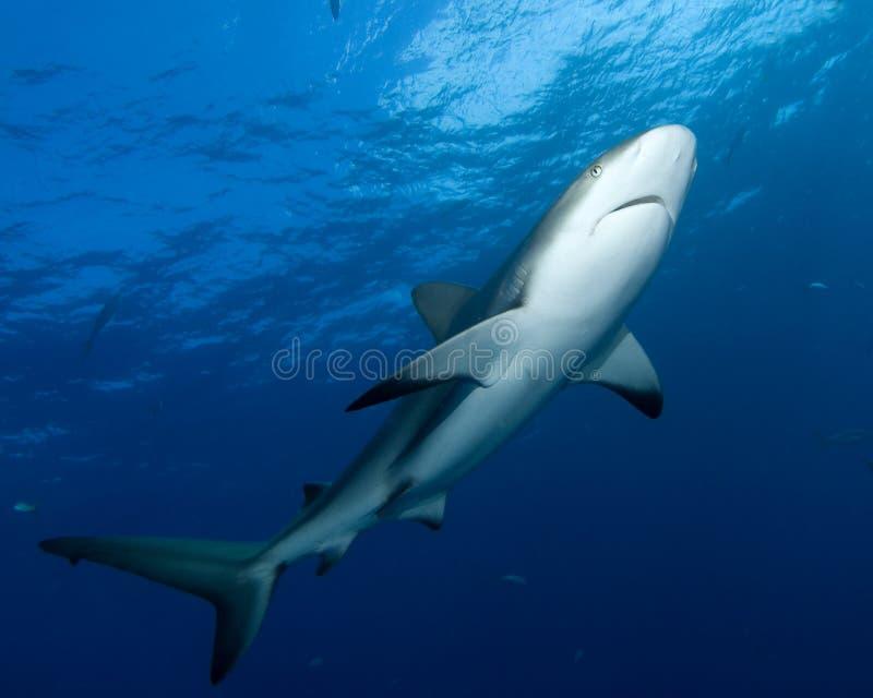 Caribbean Reef Shark royalty free stock images