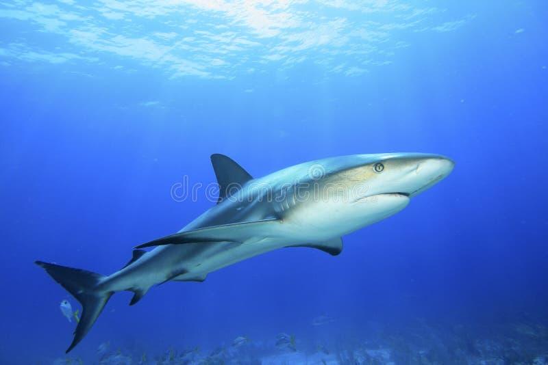 Caribbean Reef Shark royalty free stock photo