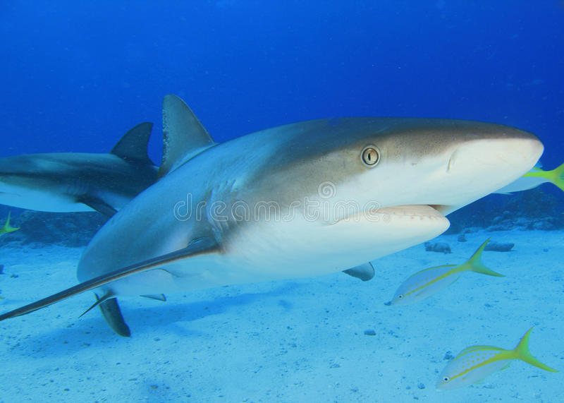 Download Caribbean Reef Shark stock photo. Image of scuba, silhouette - 11817984
