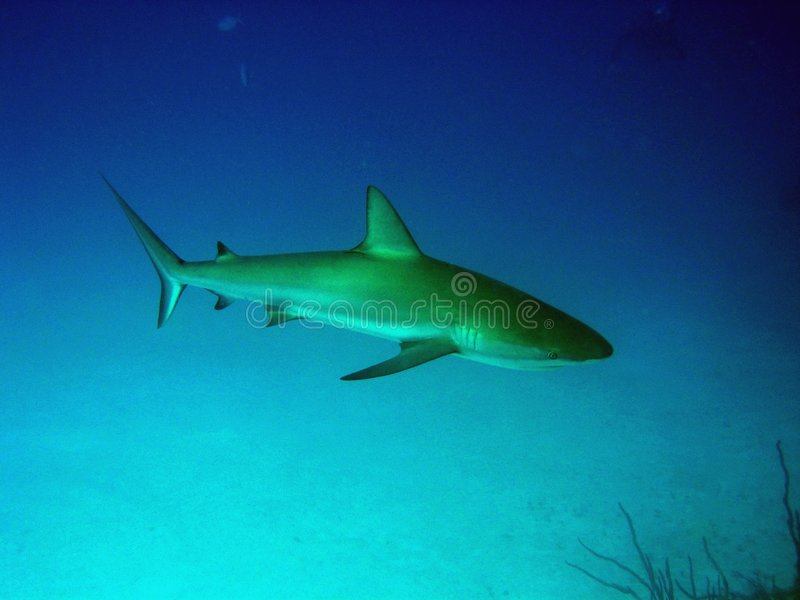 Download Caribbean Reef Shark stock photo. Image of underwater, tropical - 149690