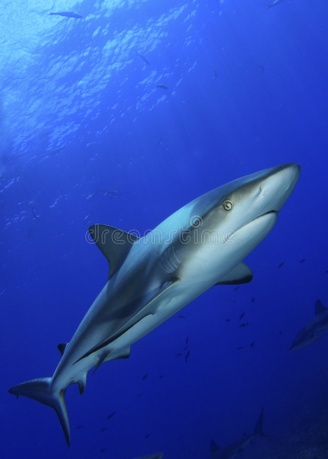 Caribbean Reef Shark royalty free stock image