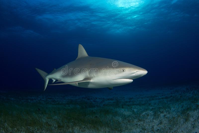 Caribbean Reef Shark royalty free stock photos
