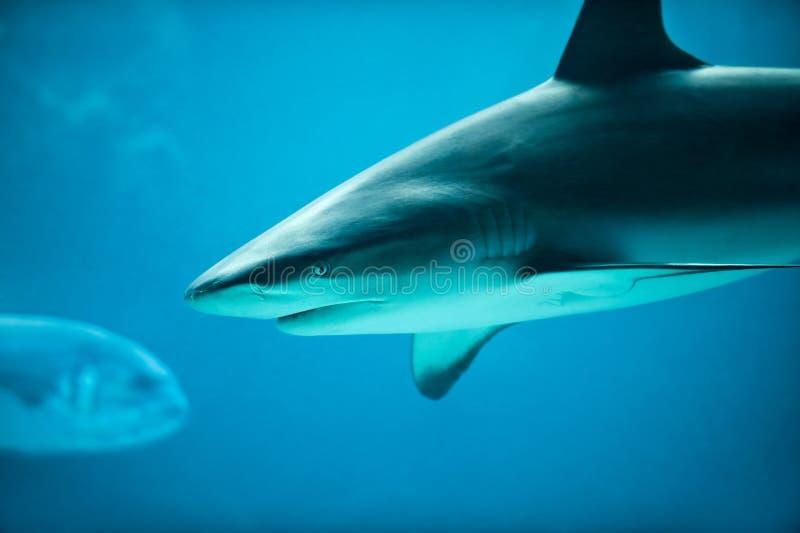 Caribbean Reef Shark in Deep Blue Sea Water stock photos