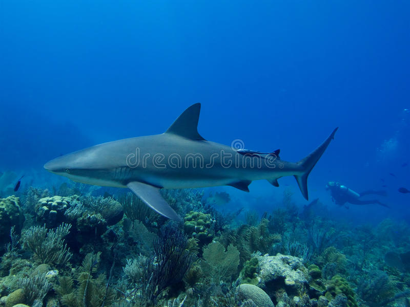 Caribbean reef shark swimming over stunning reef in Cuba's Jardin de la Reina. Caribbean reef shark swimming over stunning reef, with a diver in the electric royalty free stock images