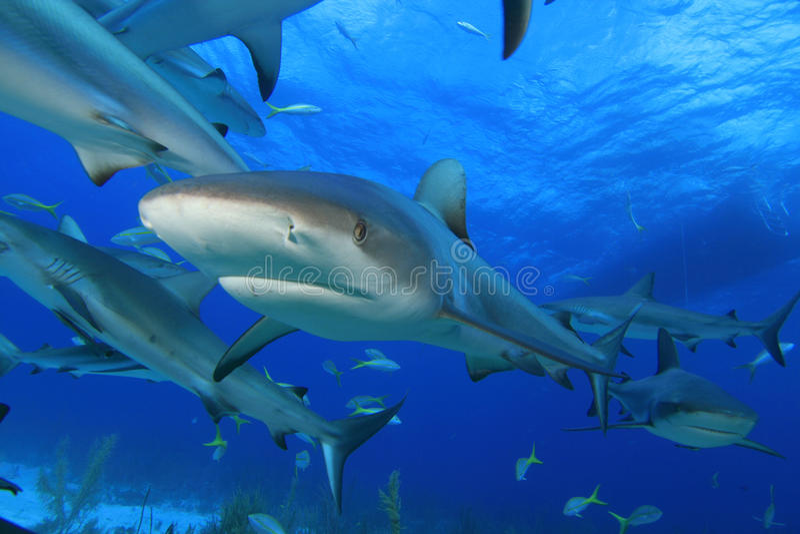 Caribbean Reef Sharks Stock Photography