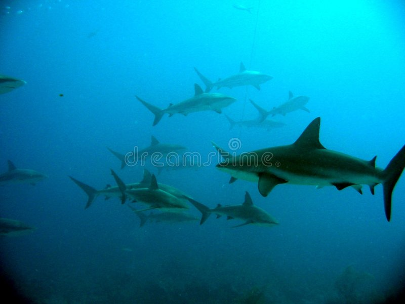 Caribbean Reef Sharks. Group of sharks in blue water