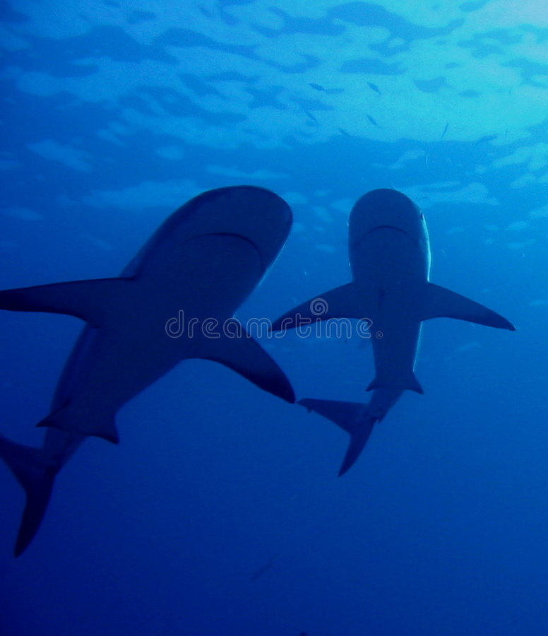 Caribbean Reef Sharks Royalty Free Stock Photos