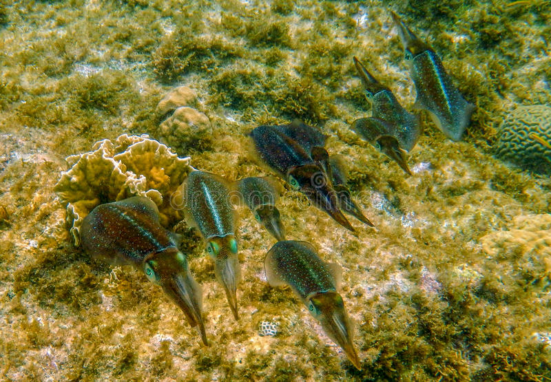 Caribbean reef squid royalty free stock photos