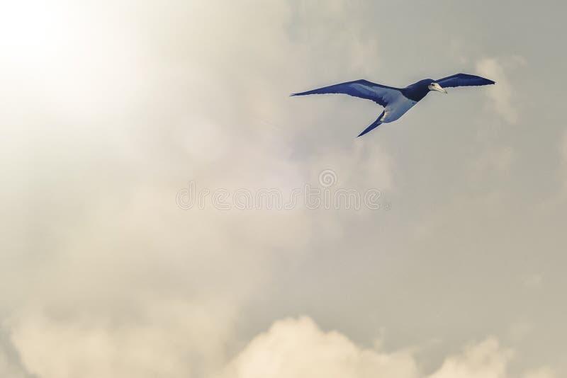 Caribbean seagulls royalty free stock image