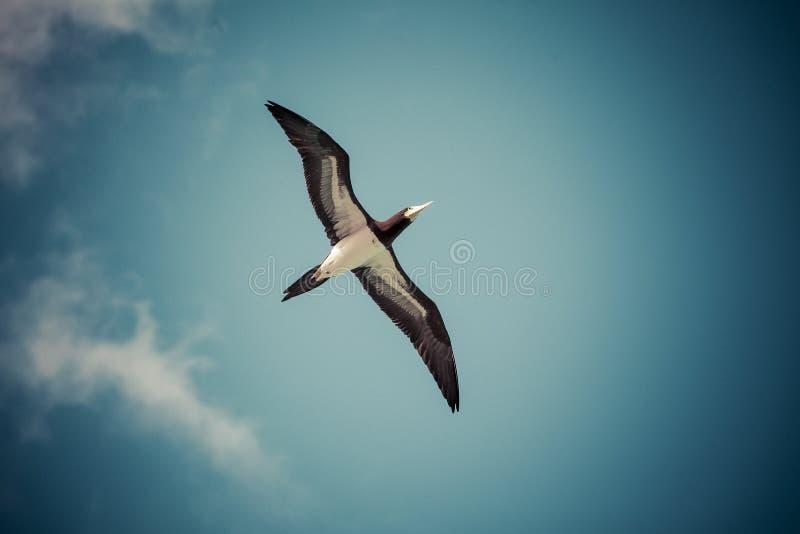 Caribbean seagulls stock images