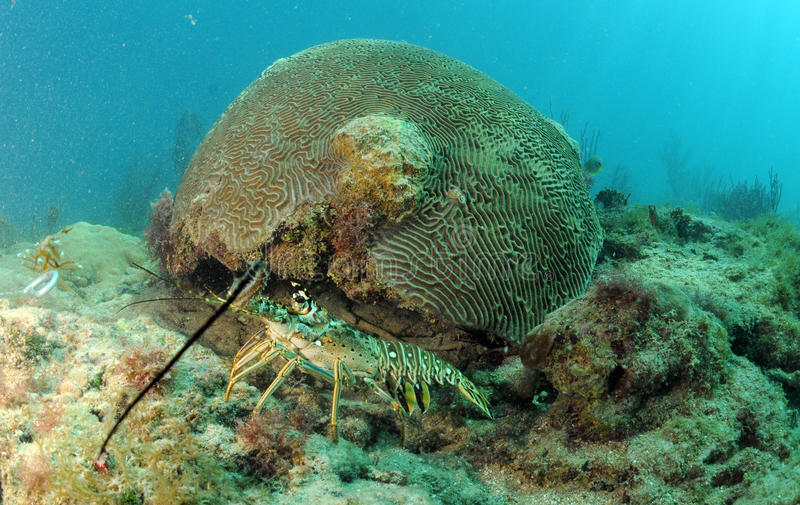 Caribbean spiny lobster in natural habitat royalty free stock photography