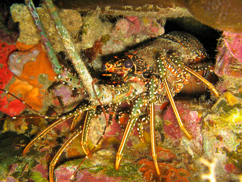 Caribbean Spiny Lobster Panulirus argus in den stock photos
