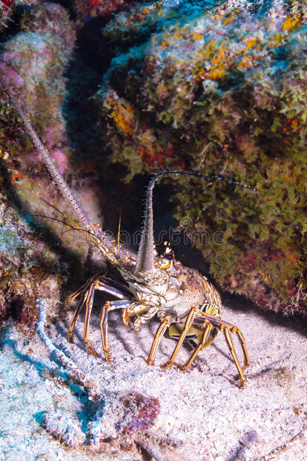 Caribbean Spiny Lobster stock images