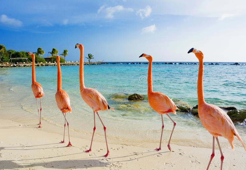 Pink flamingo on the beach, Aruba island. Caribbean tropical background, pink flamingos in Aruba island, Caribbean sea