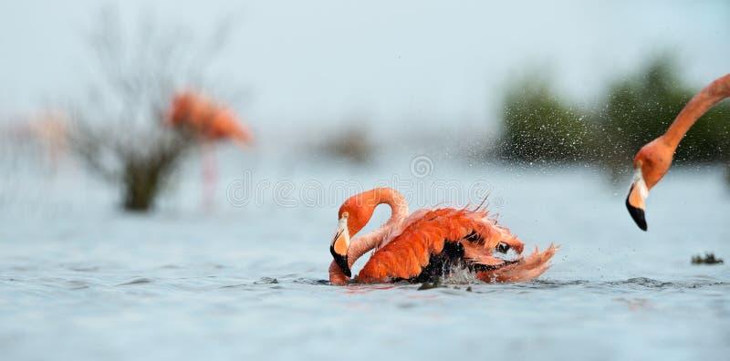 Download Caribean Flamingo bathing stock image. Image of beautiful - 26470701