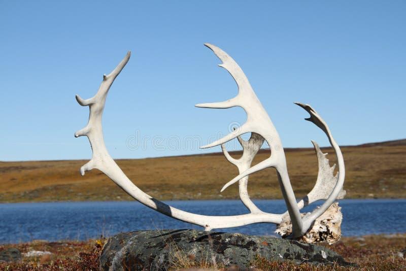 Caribou ελαφόκερες στοκ εικόνες
