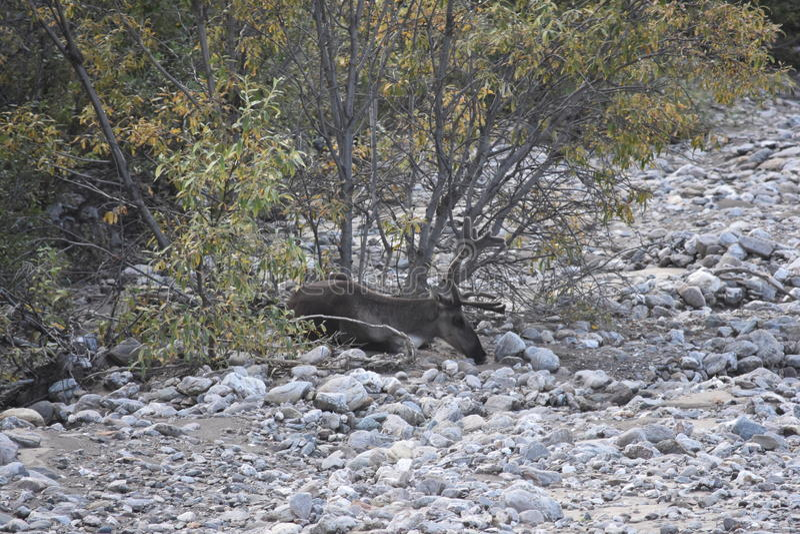 Caribou κάτω από έναν θάμνο στοκ φωτογραφία με δικαίωμα ελεύθερης χρήσης
