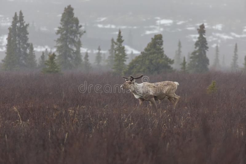 Caribou στο εθνικό πάρκο Denali στοκ φωτογραφίες με δικαίωμα ελεύθερης χρήσης