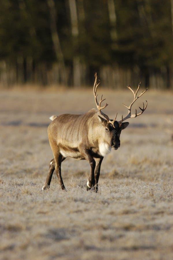 caribou royaltyfria bilder