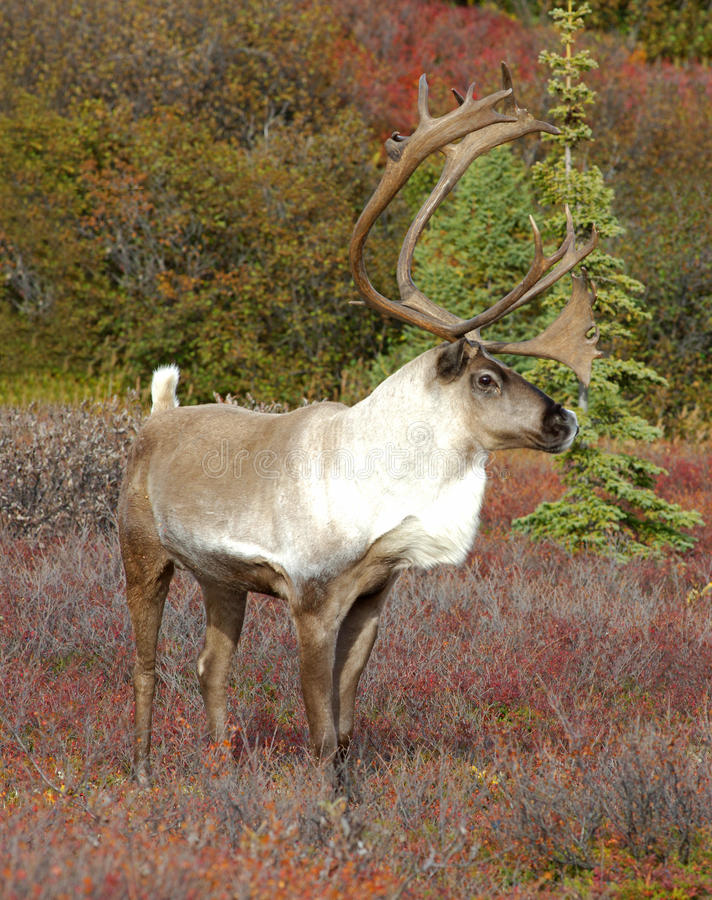 Caribou images stock