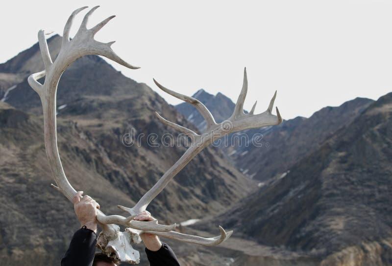 Caribou antlers