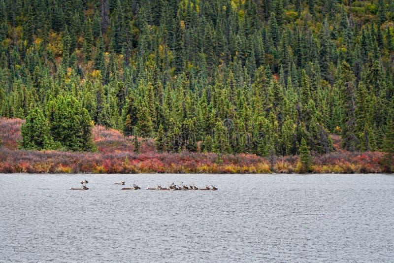 Caribou dopłynięcie przez jezioro fotografia stock