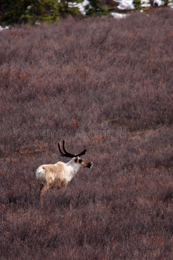 Caribou In Field Royalty Free Stock Photo