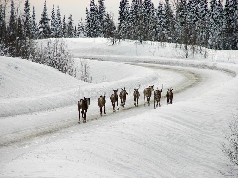 Caribou on Highway. A group of caribou meander down the middle of the Cassiar Highway, British Columbia, surrounded by snow covered trees stock photo